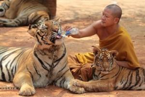 tygři v bangkoku nenávratně mizí